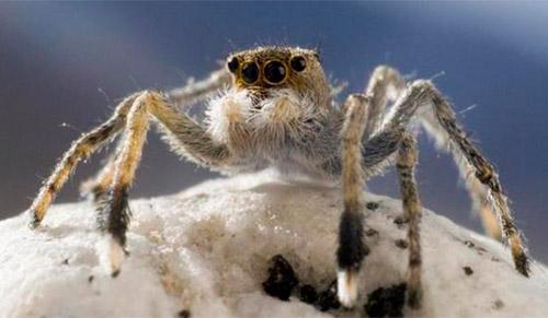 عنکبوت جهنده هیمالیایی