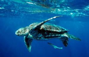 لاکپشت دریایی چرم پشت