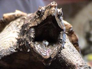 لاکپشت تمساحی گاز گیرنده